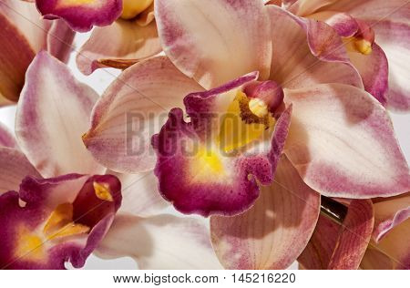 Close Up Of Orchid Flower In Hues Of Pink