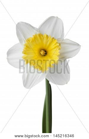 Narcissus, daffodil or jonquil flower isolated on white background.