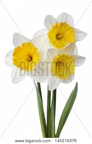 Narcissus, daffodil or jonquil flowers isolated on white background.