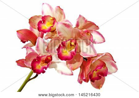 Green Stem Of Pink Cymbidium Orchids On White Background