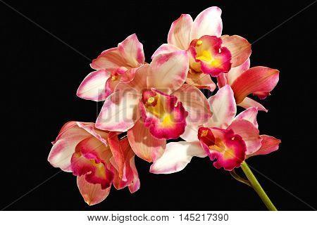 Stem Of Pink Orchids On Black Background