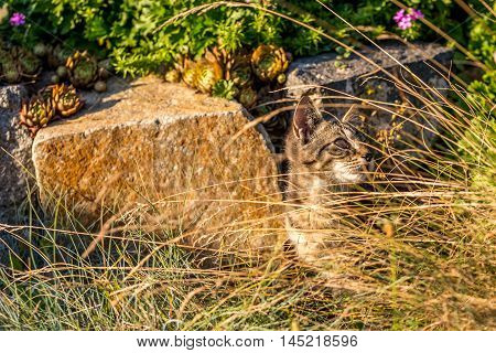Little Tabby Tomcat Hidden Behind Dry Grass