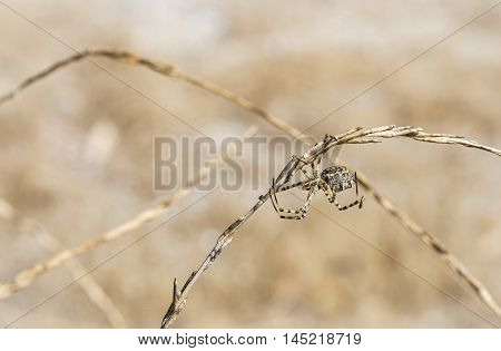 Argiope lobata female spider building a spider web in nature on a summer day