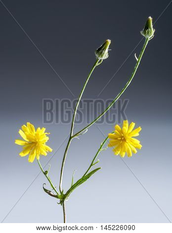 long stiped yellow flower with buds in gradient back