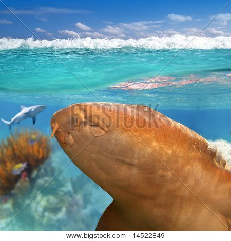 Nurse Shark Gata Nodriza Ginglymostoma Cirratum