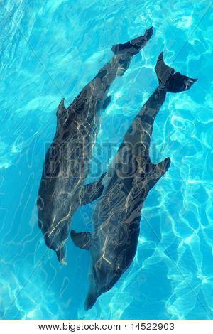 poster of dolphins couple top high angle view turquoise water swimming