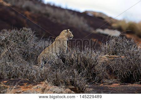 Leopard In Savannah In Kenya