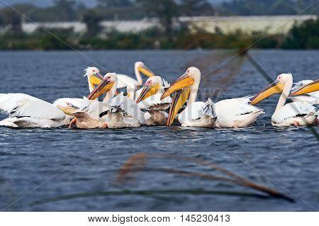 Pelicans On Lake Naivasha