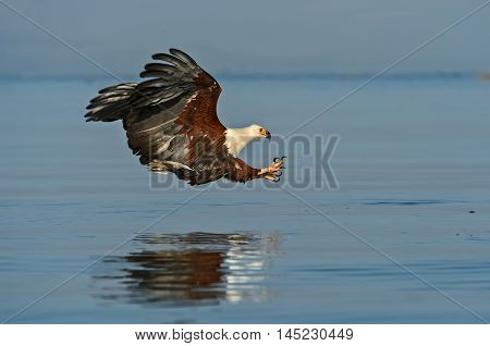 White tailed eagle on the lake Naivasha