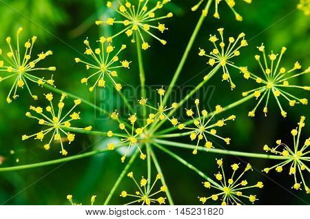 Inflorescence Flower Fennel Close Up On The Farm Of Agriculture