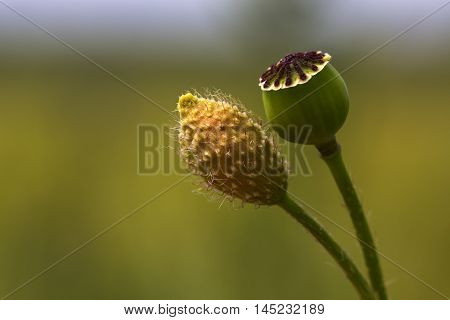 Papaver Country Landscape Flower Summer Unit Impression
