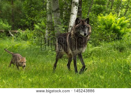Grey Wolf (Canis lupus) Chased by Pup - captive animals