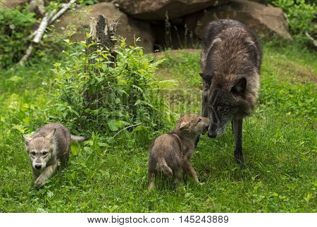 Grey Wolf (Canis lupus) is Greeted by Pup - captive animals