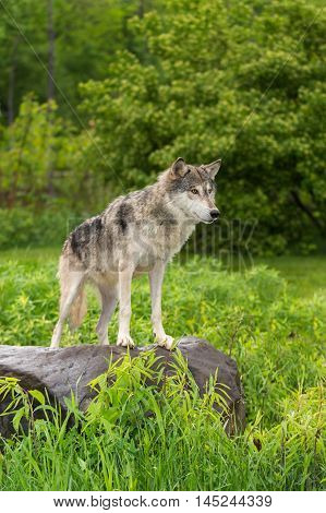Grey Wolf (Canis lupus) Stands on Rock Looking Right - captive animal