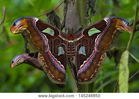 Tropical Butterfly Atlas Moth Attacus Wildlife Impression