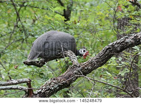 Black and white spotted guinea fowl perched in a tree.