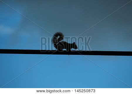 Squirrel's semi-silhouette pausing while walking on a wire.