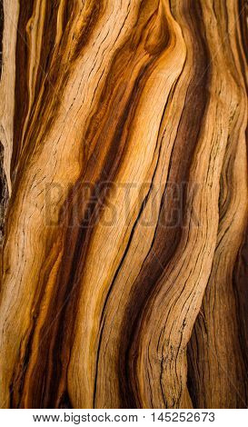 The spiral and patterned bark on an old Ancient Bristle Cone pine tree, Patriarch Grove, White Mountains, California
