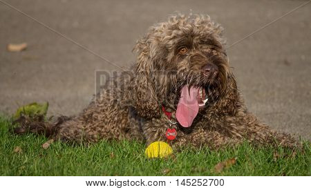 Male portrait of a Cockapoo dog (Cocker Spaniel and Poodle mixed breed), lying on the grass, local park, Liverpool, England