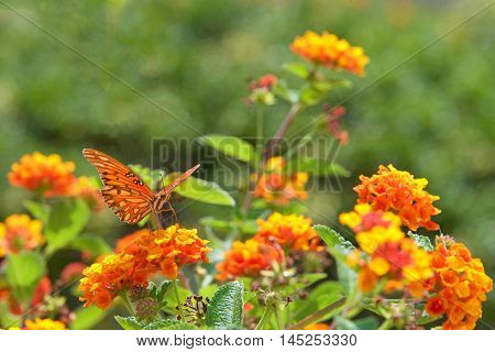 Gulf fritillary or passion butterfly a medium to large specimen drinking nectar from orange and yellow Lantana flowers