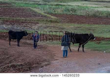 Boy And His Mother With Their Cattle