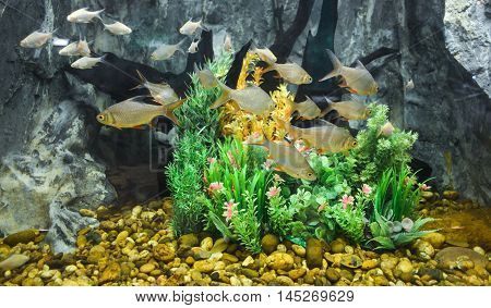 Schwanen Feld's tinfoil barb in Fish tank