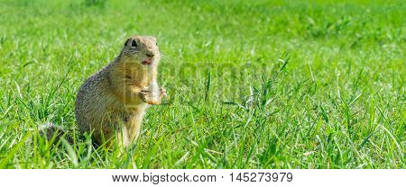 Gopher eating small piece of bread on meadow