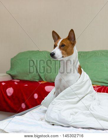 Bed scene with dog (basenji) model at morning.