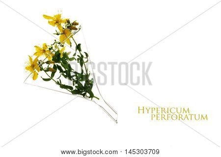 st john's wort (Hypericum perforatum) in a glass funnel heilkraut for tincture essence or tea isolated on a white background with sample text in the copy space