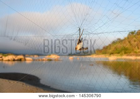 little bird caught in the net trap
