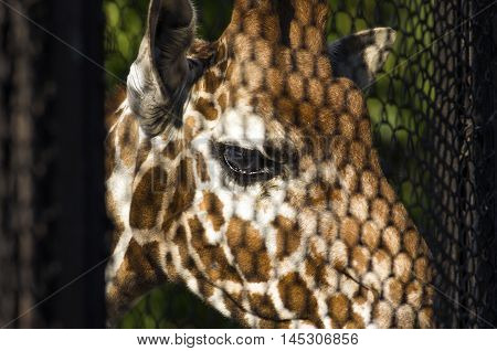 The giraffe looks through a lattice from which shadow intertwines with a pattern on his skin