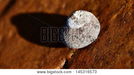 Close up of a sea snail on brown rock