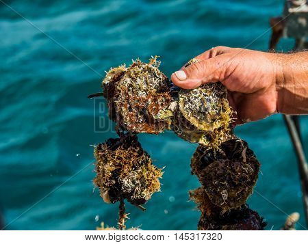 oyster farming in europe