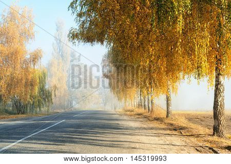 Golden colored birch trees along a countryside road fall morning scene