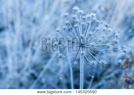 Herb family umbellate covered with hoarfrost closeup outdoor