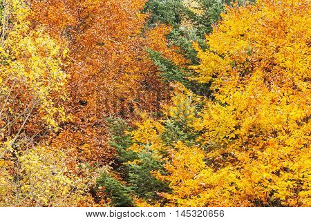 Autumn forest as background mixture of coniferous and deciduous trees with brightly colored autumn leaves abstract fall background