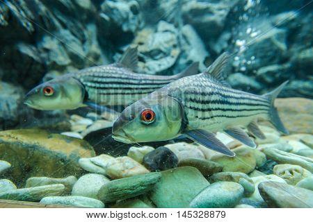 Freshwater fish ,in the Bungchawak Aquarium of Supanburi Province, Thailand