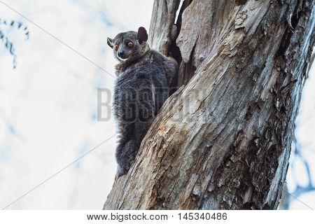 Red tailed Sportive Lemur (Lepilemur ruficaudatus) sitting on a tree in Kirindy forest reserve. Madagascar.