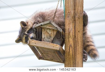 Raccoon (Procyon lotor) on a bird feeder, eastern Ontario.  Masked mammal has a bit of fun while he looks for and finds an easy meal.  Friendly animal lovers helping the woodland critters. poster