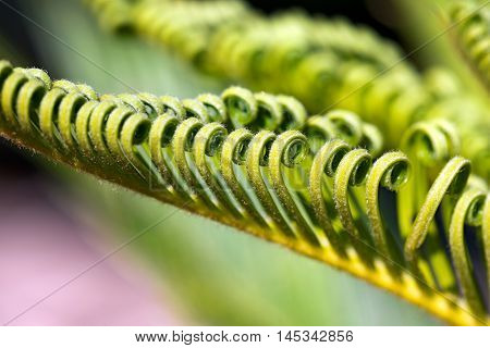 Macro photography of green curly leaves of cycas revoluta