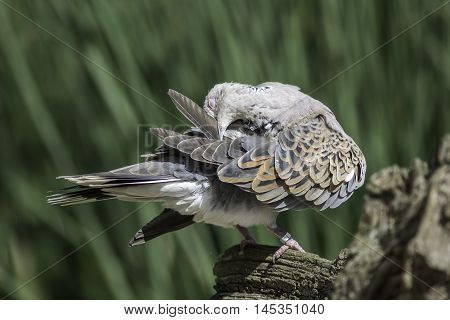 European turtle dove (Streptopelia turtur) preening its feathers. The species of bird was considered sacred but is now included on the Red List of conservation concern.
