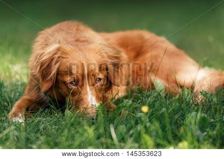 Dog Nova Scotia Duck Tolling Retriever lying in the garden on the green grass