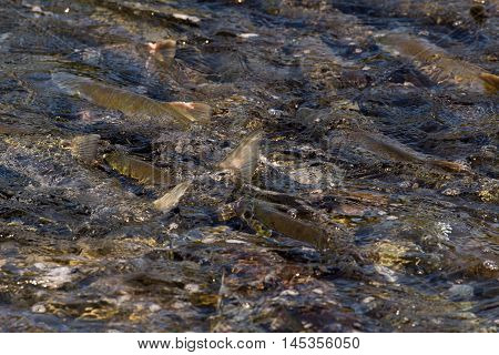 Sockeye Salmon In Water