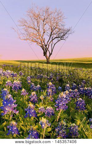 Wild flower Bluebonnet in Ennis City Texas USA at sunset dusk. BlueBonnet trail. Bluebonnets bloom Spring at Ennis. Leaf less tree and Bluebonnet field. Beautiful scene.