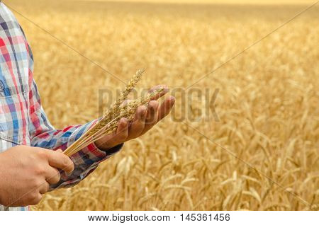 Man holds a ripe wheat . Man hands with wheat. Wheat field against a blue sky. wheat harvest in the field.