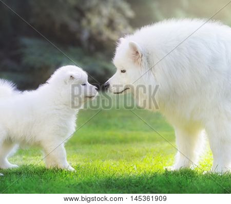 Samoyed dog. Dog mother with puppy are shining in light low sun.