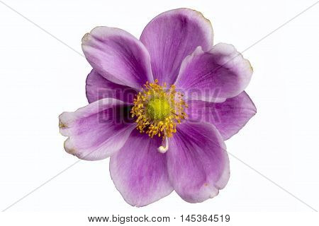 Isolated Japanese Anemones  on a white background