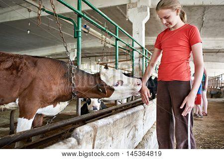 Calf Licks Hand Girl In Stall On Farm