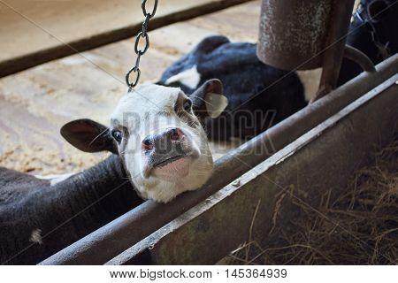 Calf In Stalls At Farm