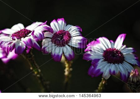 Group of Purple and white flower with petals